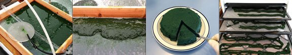 The spirulina is harvested through a fine microscreen, and the algae paste collects on the harvest screen. After pressing, it is thick like a wheel of brie cheese, and can be extruded into noodles on dehydrator screens.