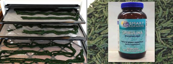 Extruded noodles loaded into a dehydrator for dried spirulina noodles and granules.