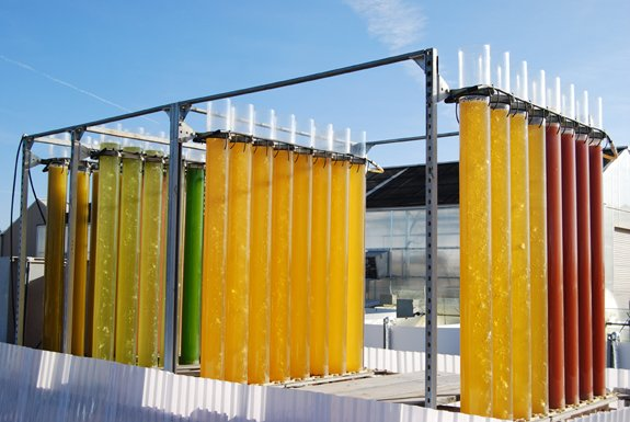 Tubular photobioreactors growing microalgae strains