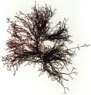 Ahnfeltia plicata, the landlady's wig, is a species of red alga.