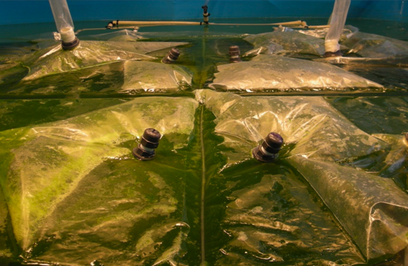 Algasol Renewables' floating, flexible, multi-compartment photobioreactor can be deployed on land or any body of water.
