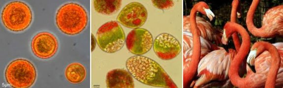 Algae cells laden with carotenoids and Carotenoid eaters