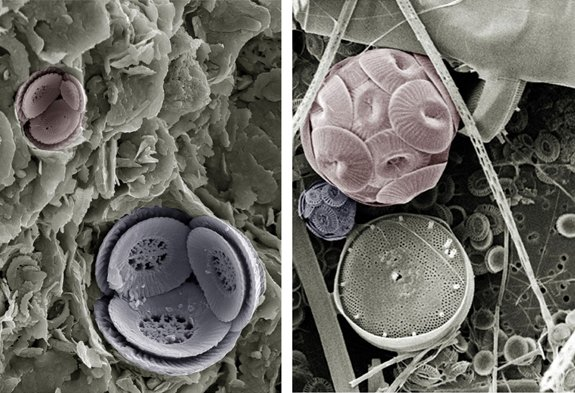Fossil (left) and modern (right) coccolithophore cells of species Toweius pertusus and Coccolithus pelagicus