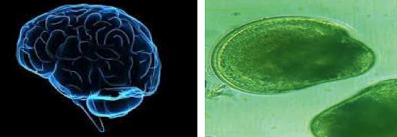 (Left) Human Brain, (Right) Isochrysis Algae with Oil