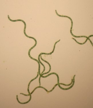 Spirulina in microscope