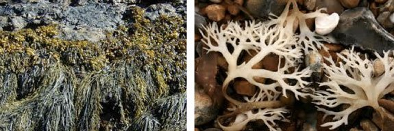 Macroalgae, brown seaweed are rich in Phlorotannins