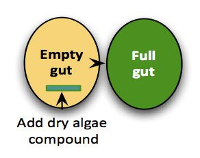 Fill-gut adds a small amount of dried algae eaten early in a normal meal, which then expands and fills the stomach. Alginates can absorb 300 times their weight in water, which fill the gut and suppresses appetite.