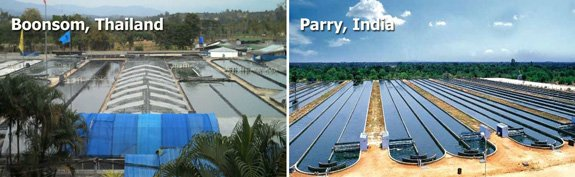 Boonsom Spirulina Farm near Chiang Mai Thailand. Parry Nutraceutical spirulina ponds in India